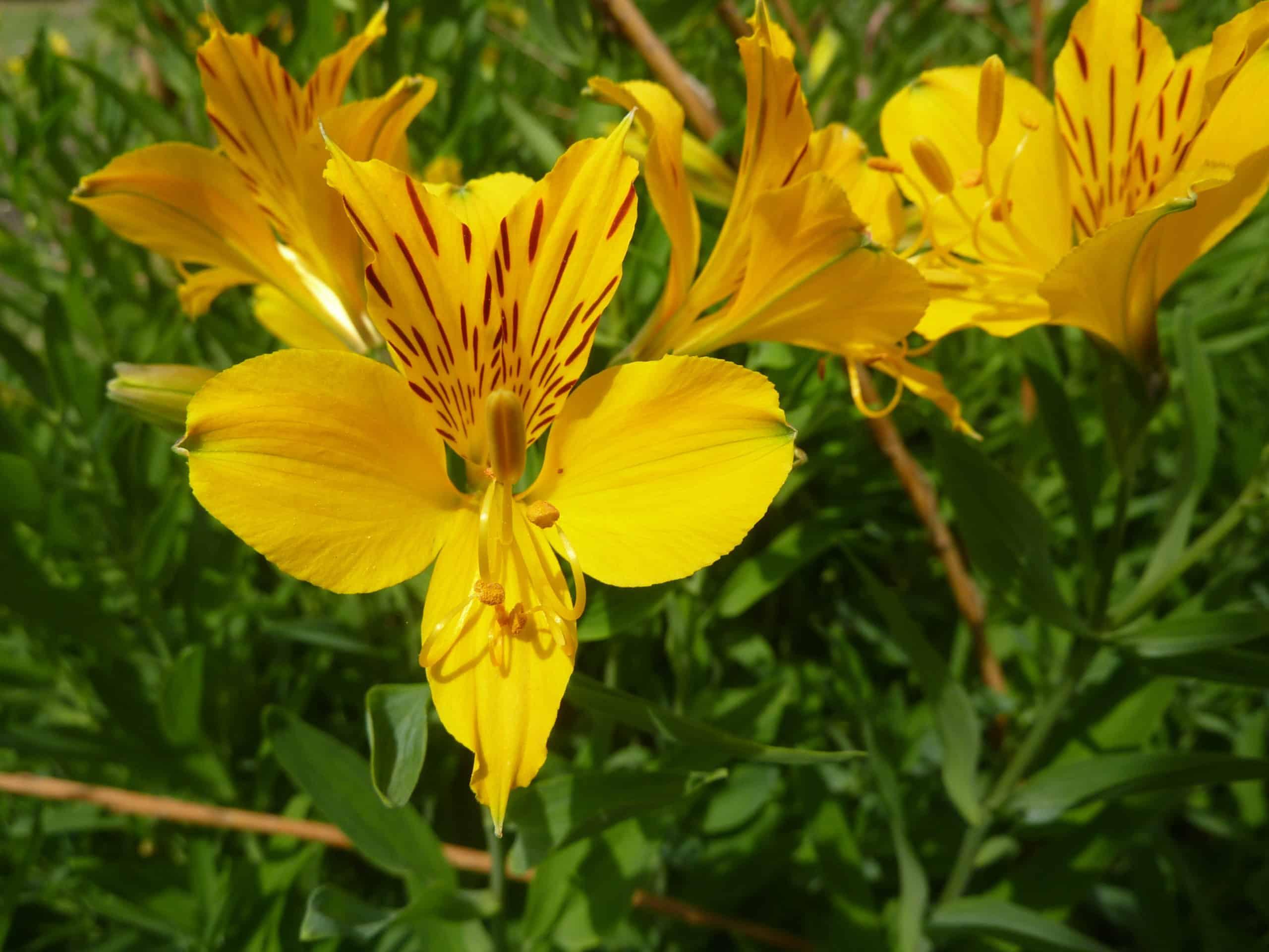 Peruvian Lily. (Alstroemeria).