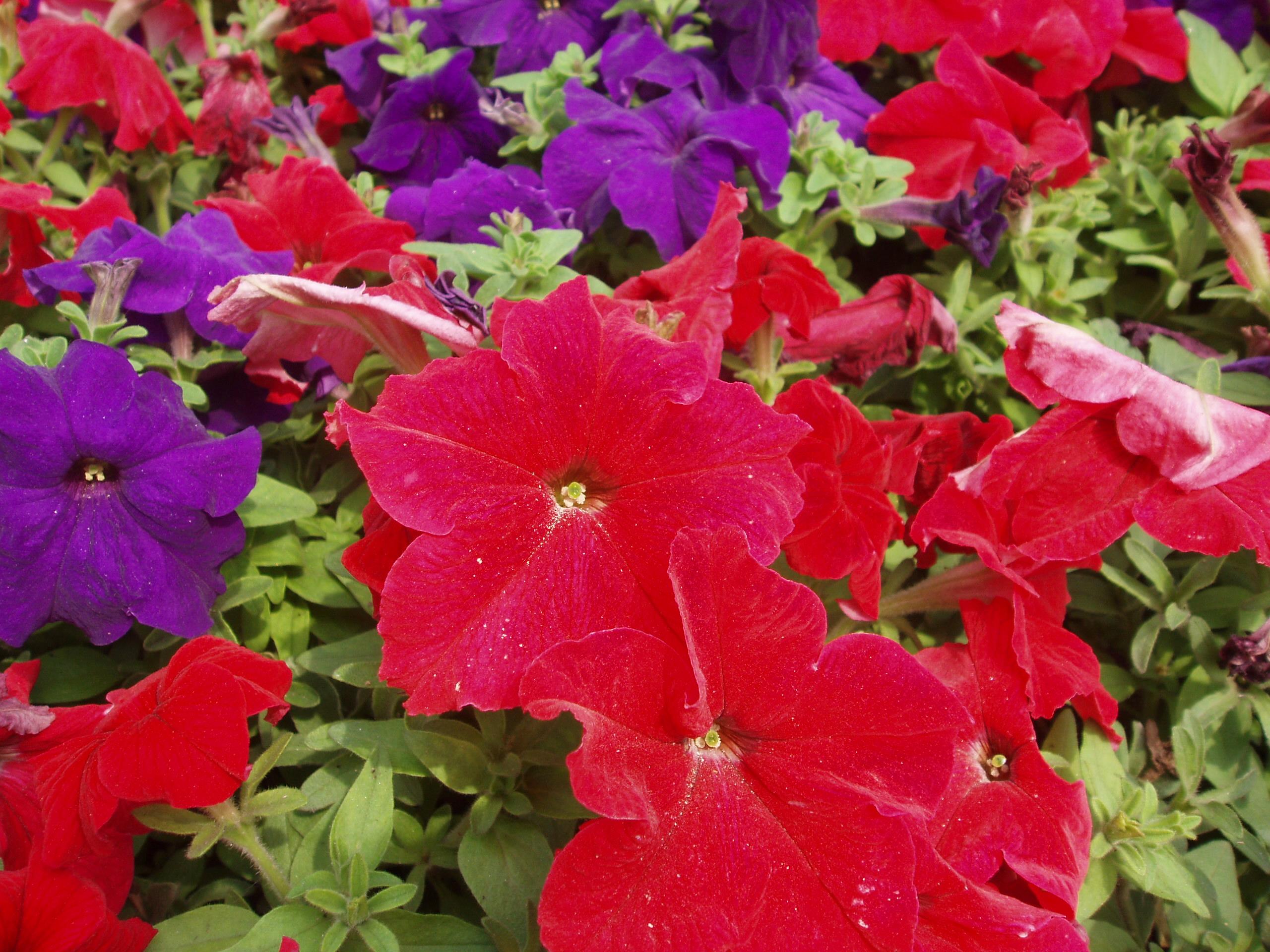 Petunia. (Solanaceae). Nightshade Family.