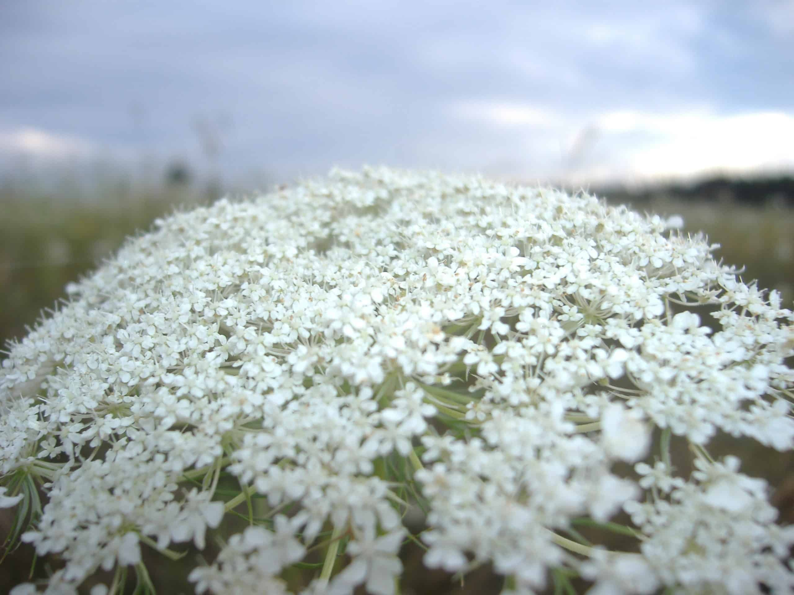 Queen Anne's Lace. (Wild Carrot).