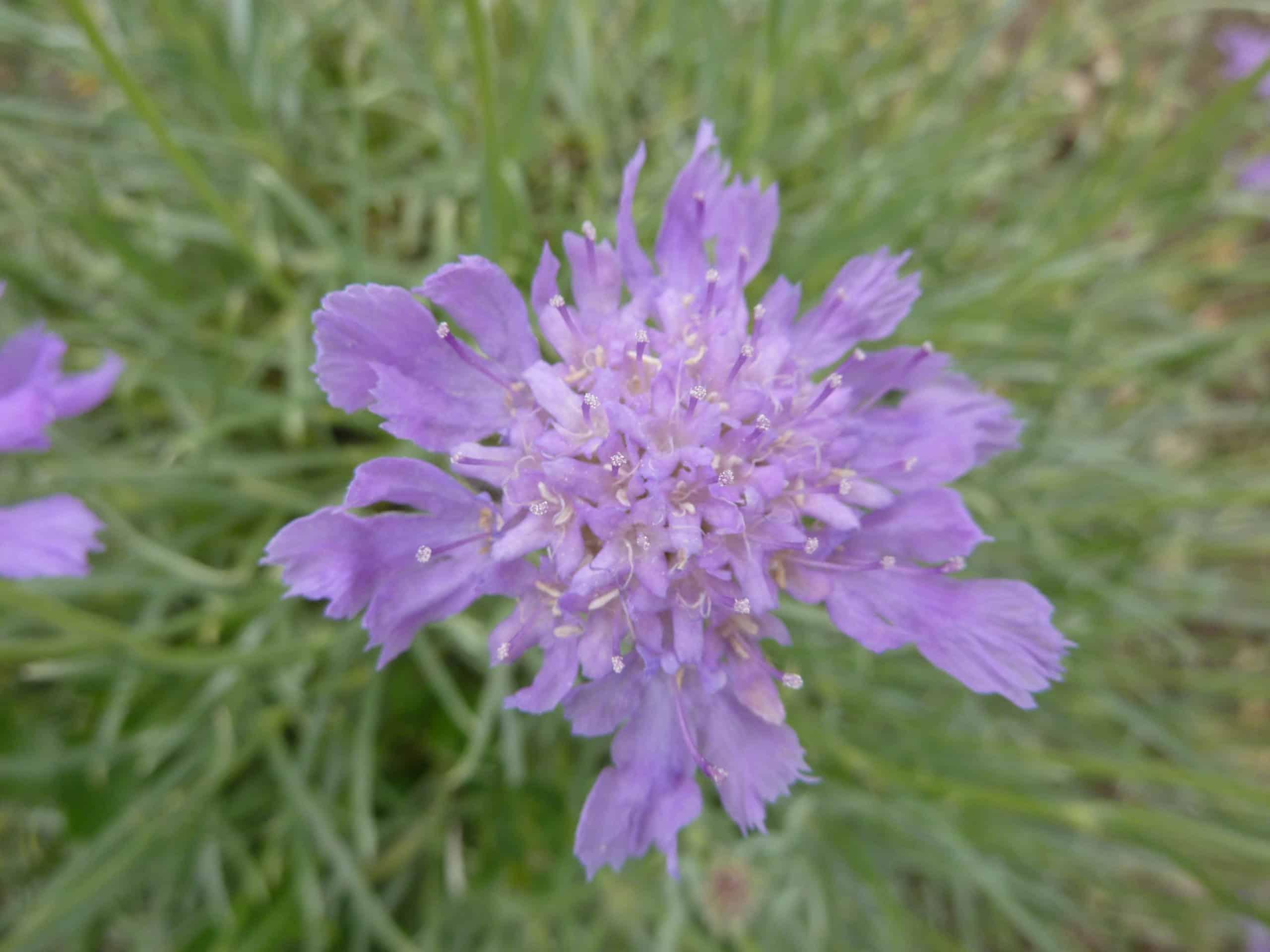 Scabiosa. (Pincushion Flower).