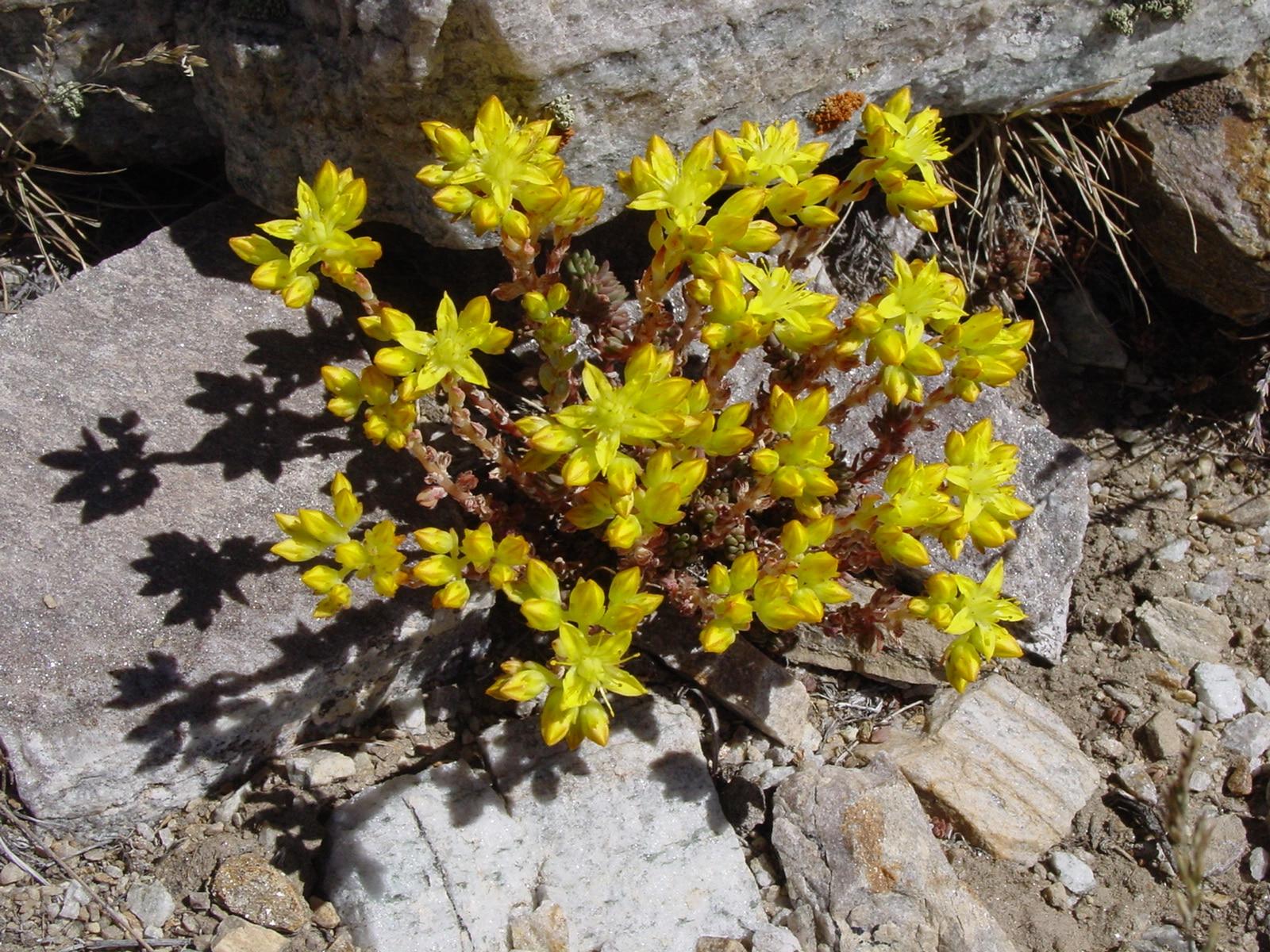 Sedum. (Stonecrops). Crassulaceae Family.