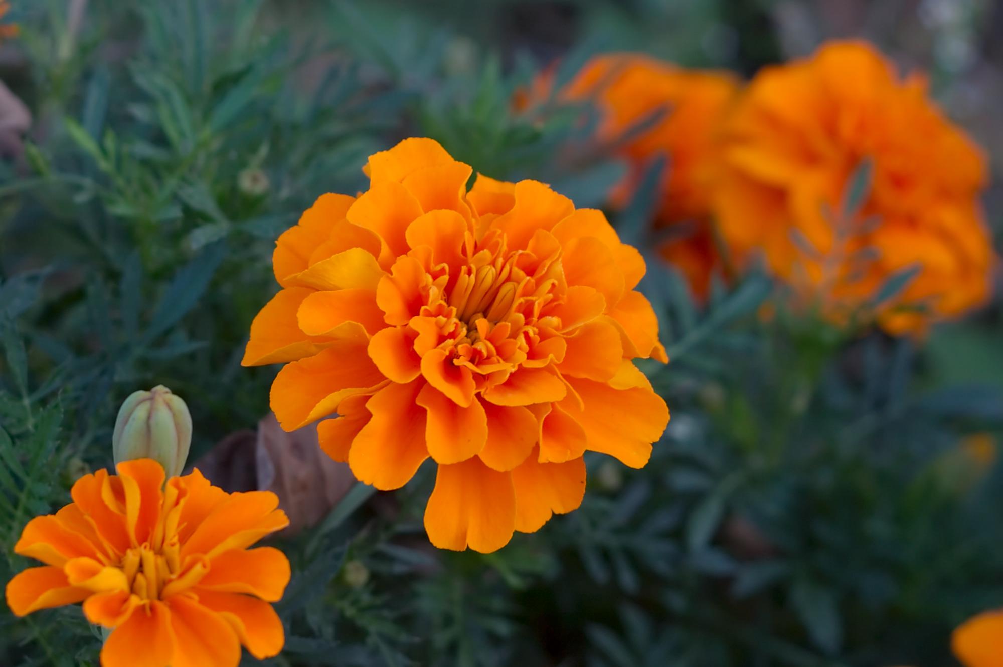 Tagetes. (Marigold).