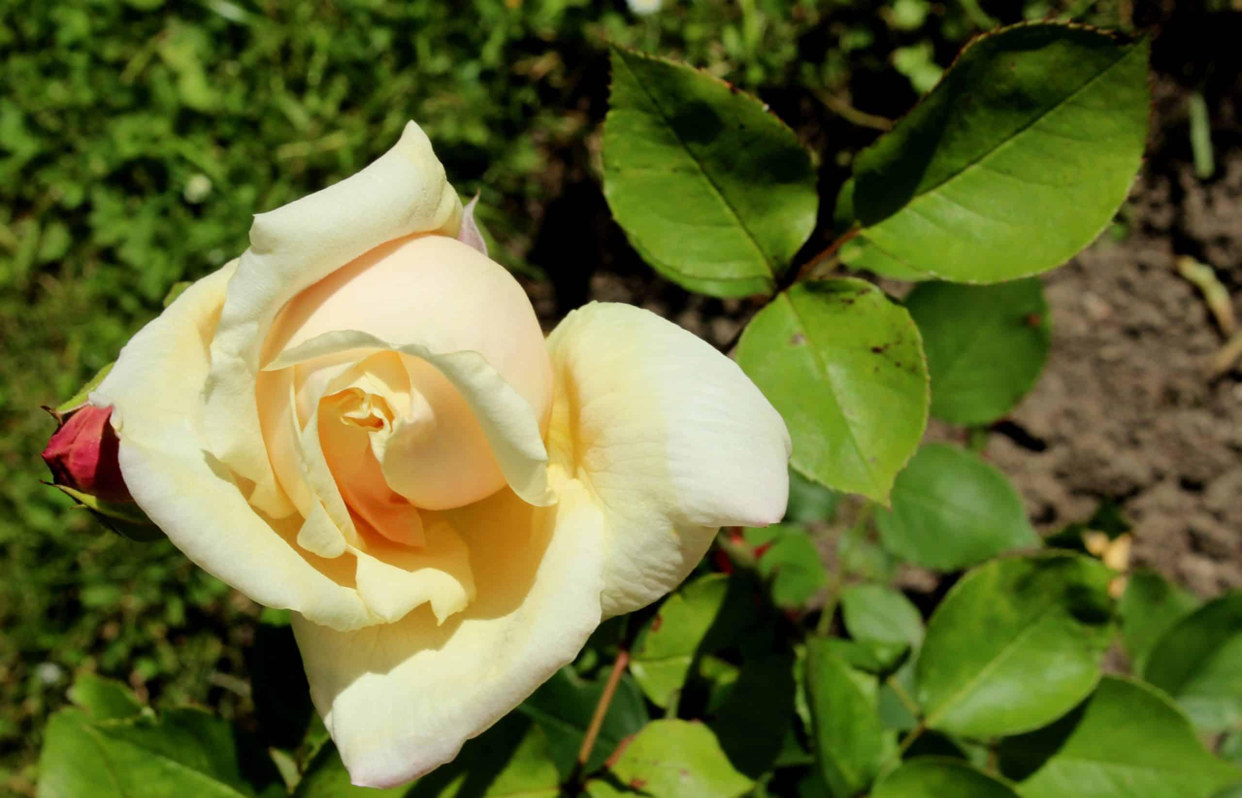 Tea Rose. (Gloire de Dijon).