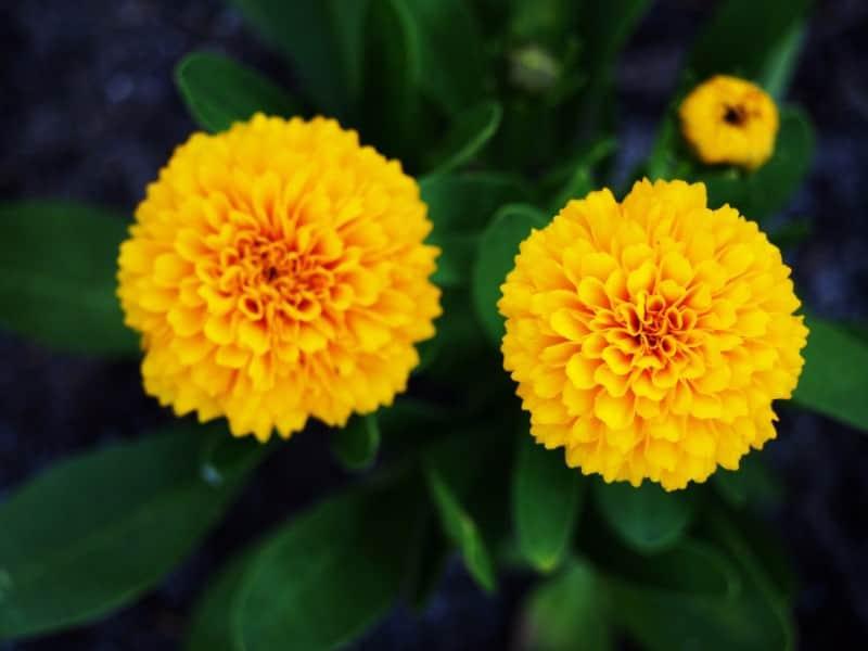Coreopsis. Asteraceae.