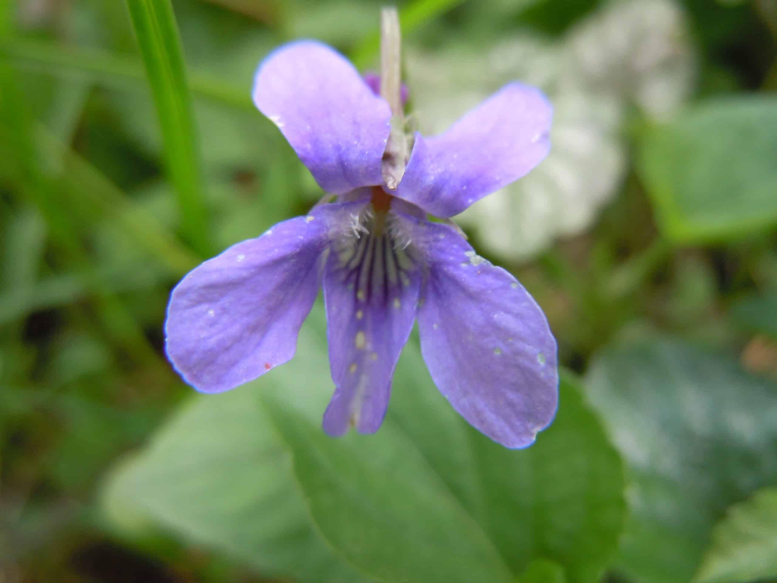 Violet. (Violaceae Family).