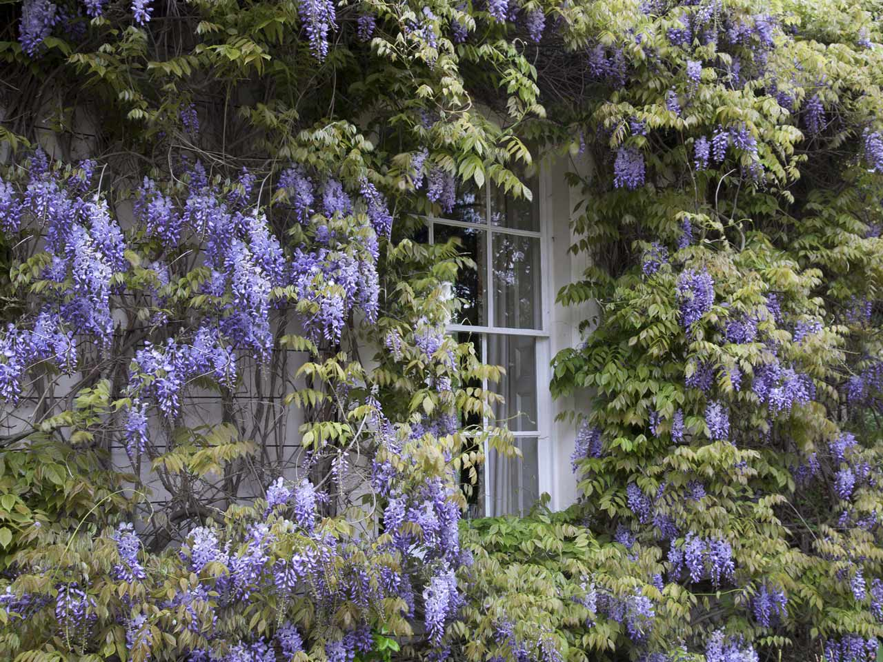 Wisteria flowers growing outside and around a house.
