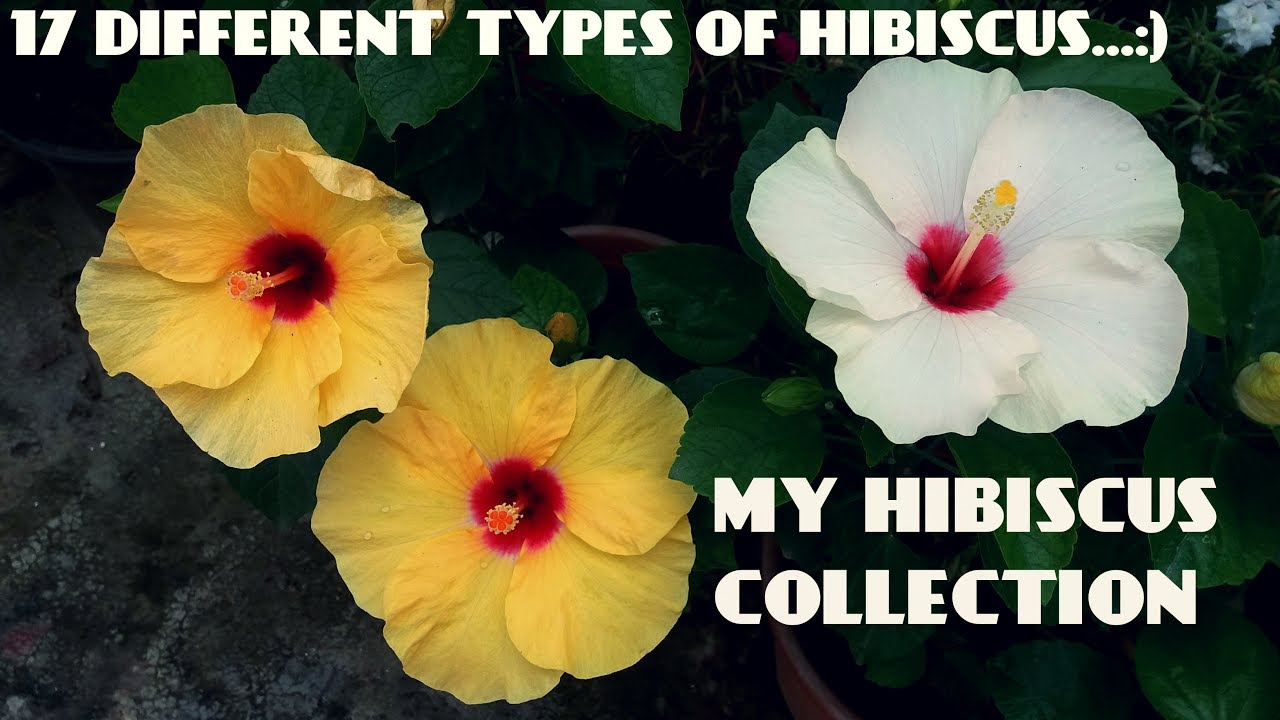14 Different Types of Hibiscus