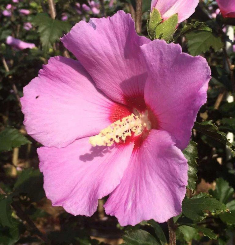 Aphordite Hibiscus Flower