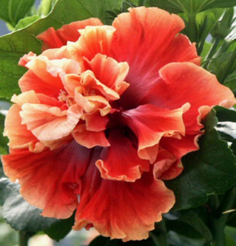 Bedazzled Hibiscus Flower