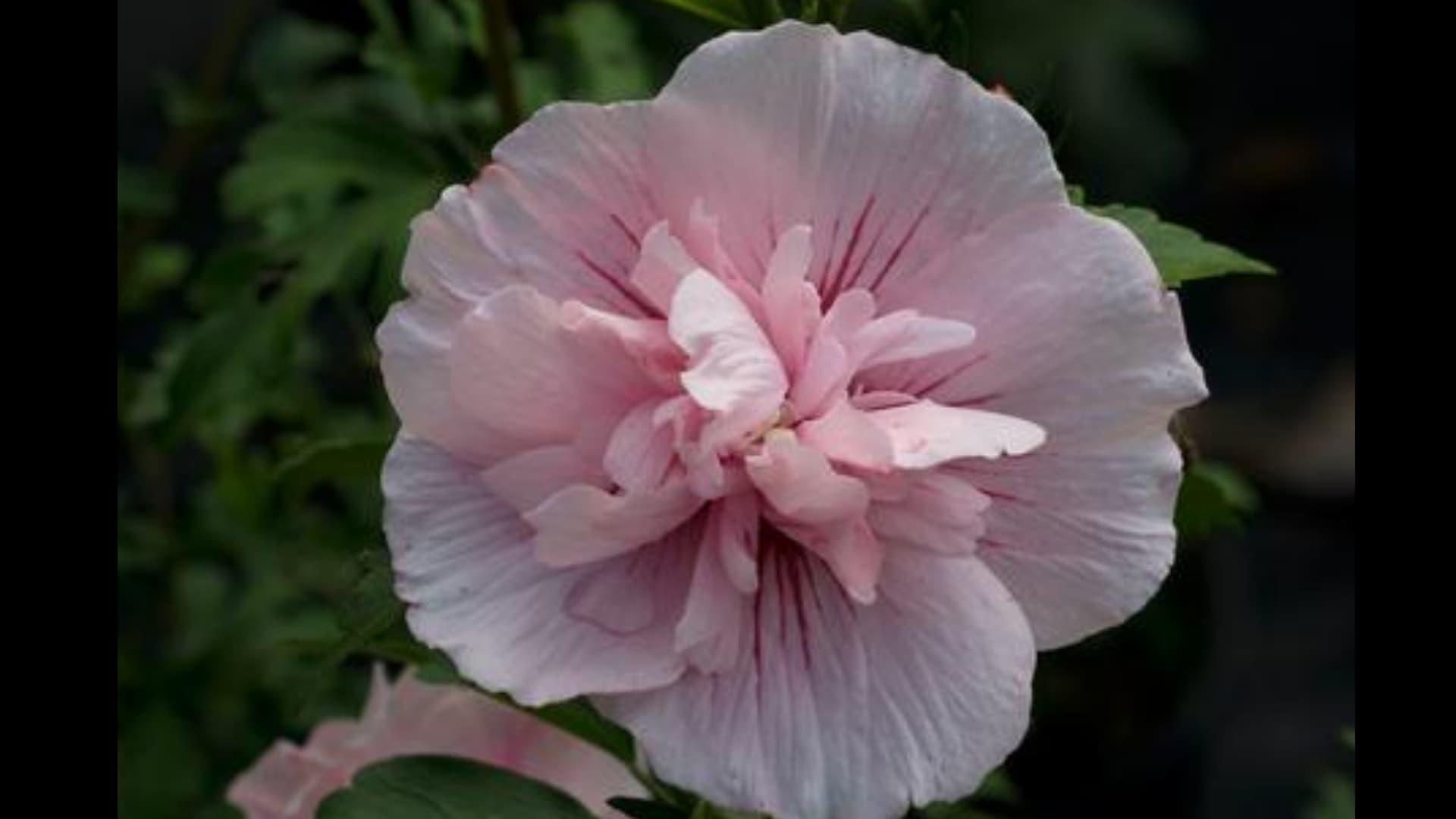 Hibiscus syriacus Pink Chiffon® (Rose of Sharon)