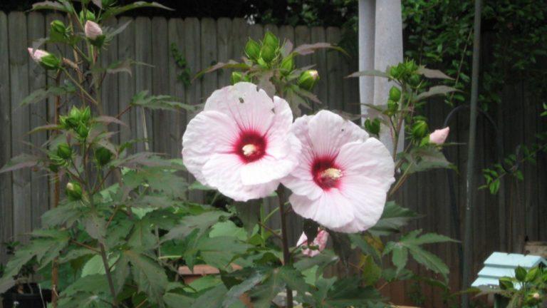Kopper King - Perennial Hibiscus