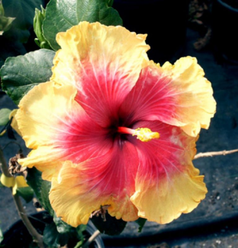 Palm Springs - Tropical Hibiscus