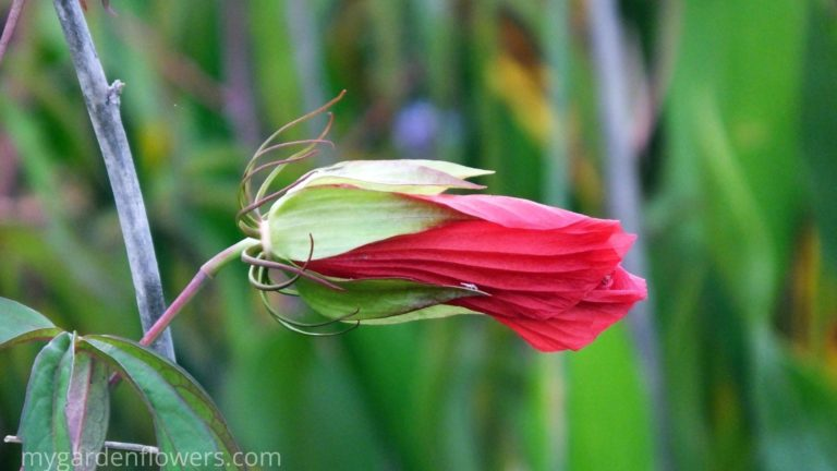 Scarlet Rose Mallow - Hibiscus Plant