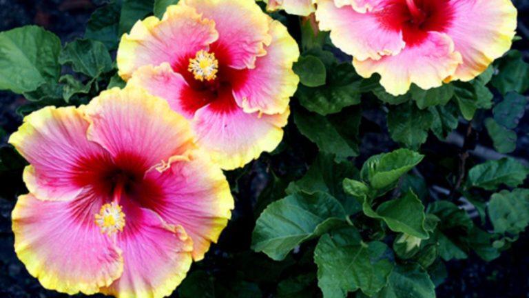 Simple Pleasures - Tropical Hibiscus