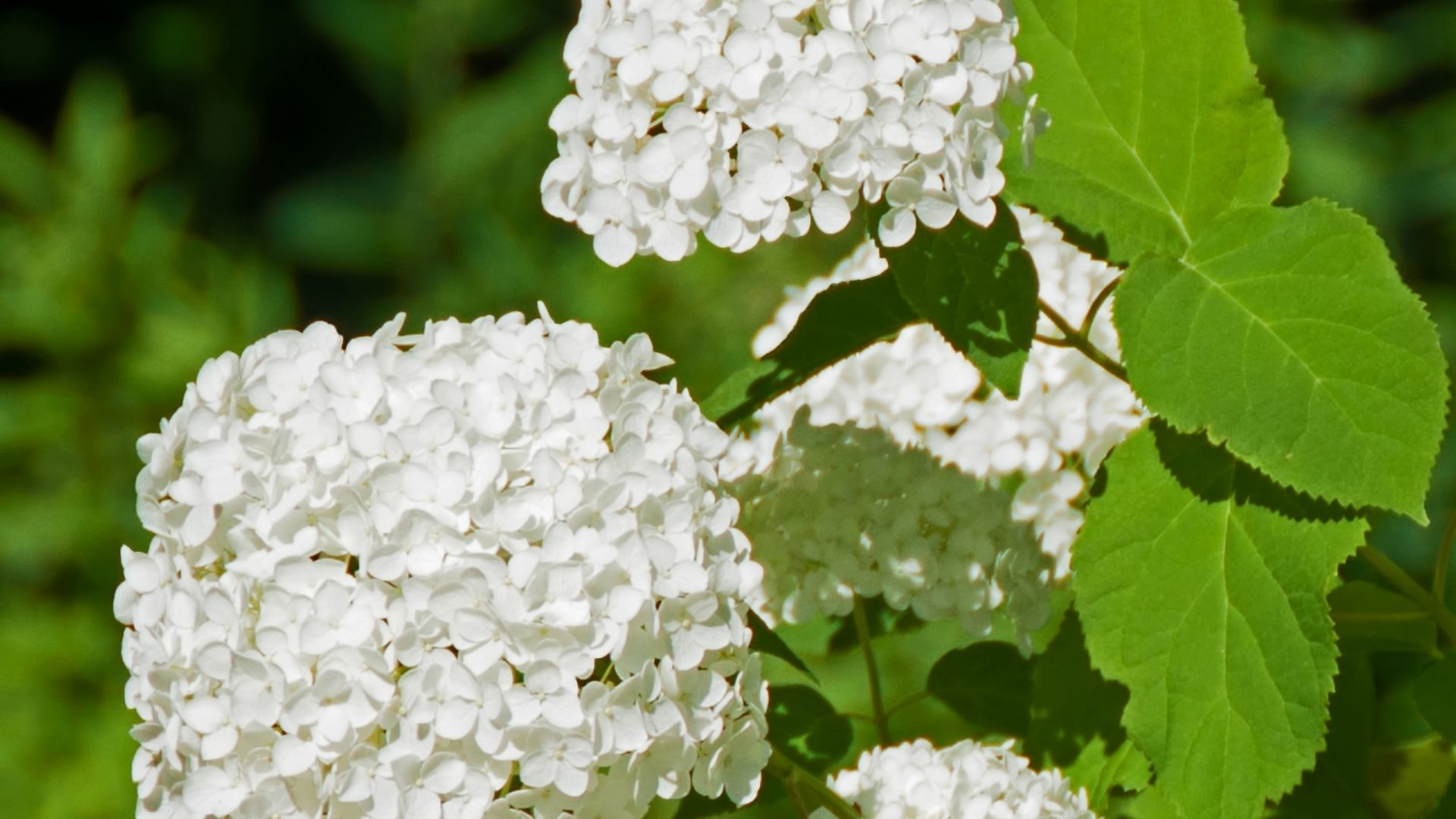 Annabelle Hydrangea - Four clusters of white flowers in between green foliage.
