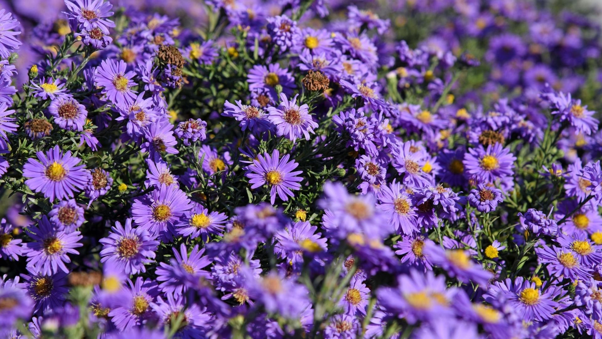 Close up of several Aster Amellus flowers in full bloom.
