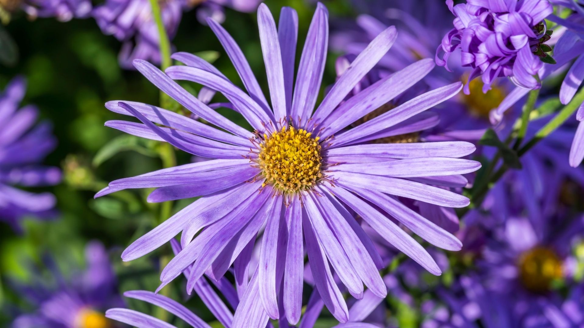 Close up of a single Aster Frikartii flower in full bloom.