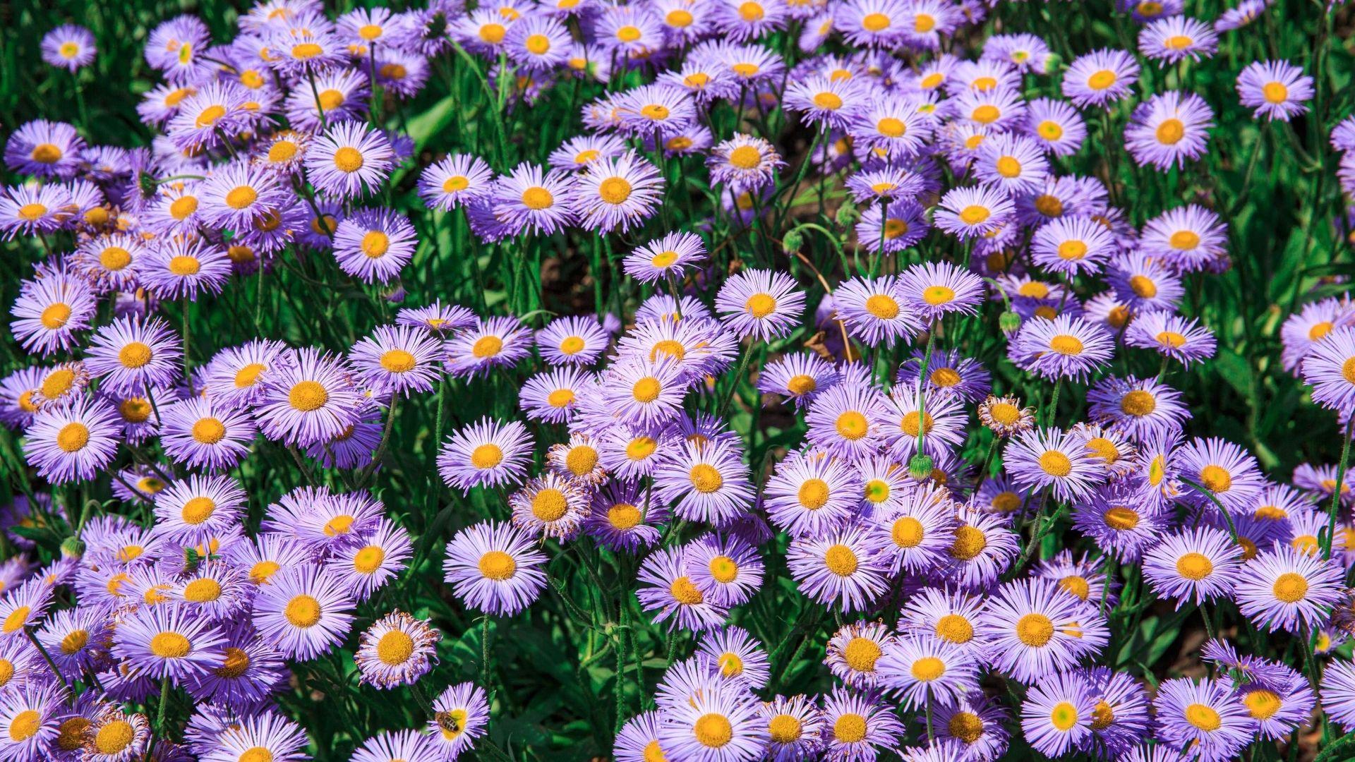 A field of Aster novae-angliae (Purple Dome Aster).