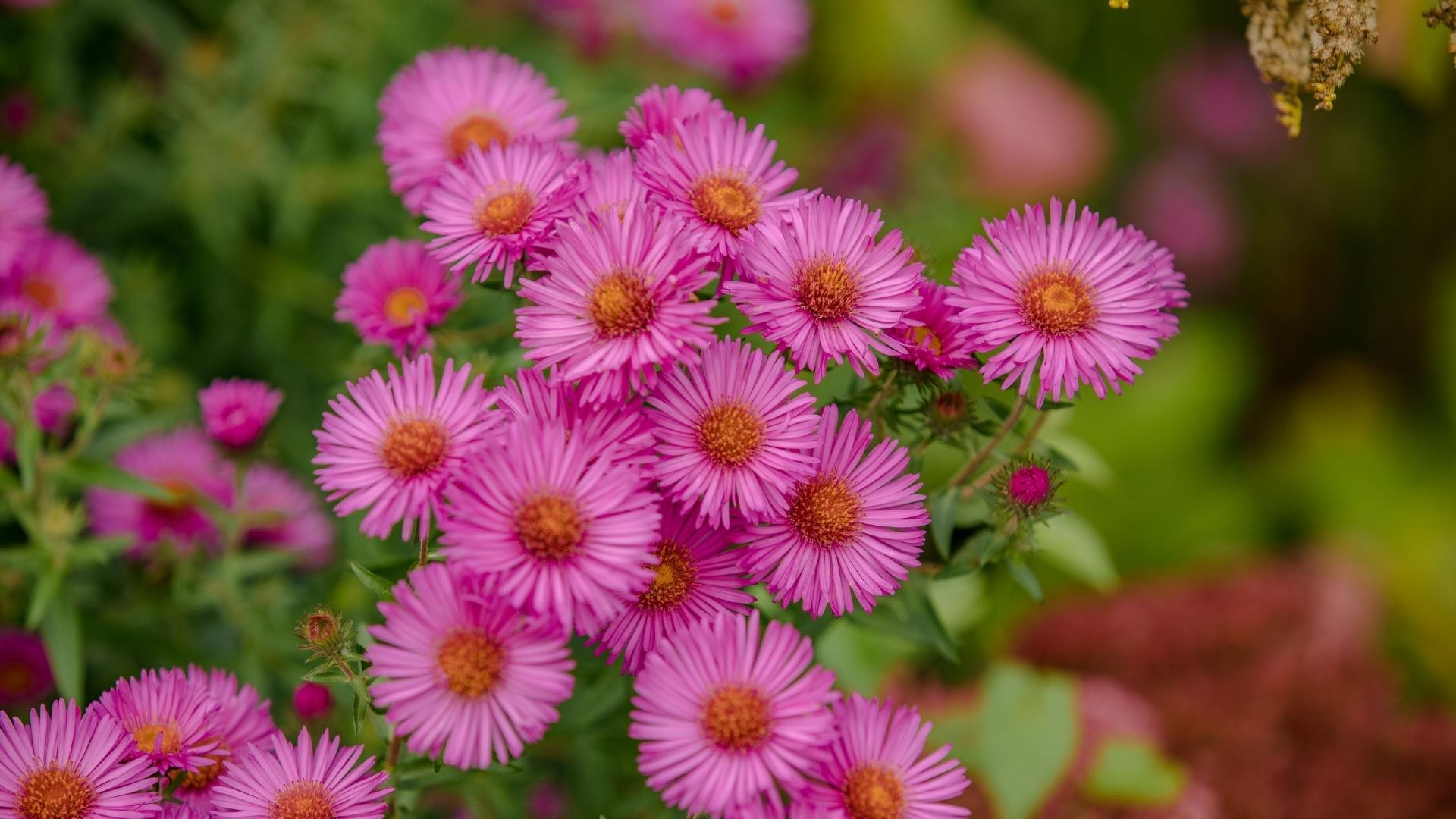 A bunch of Aster novae-angliae - Harrington's Pink Aster flowers in full bloom.