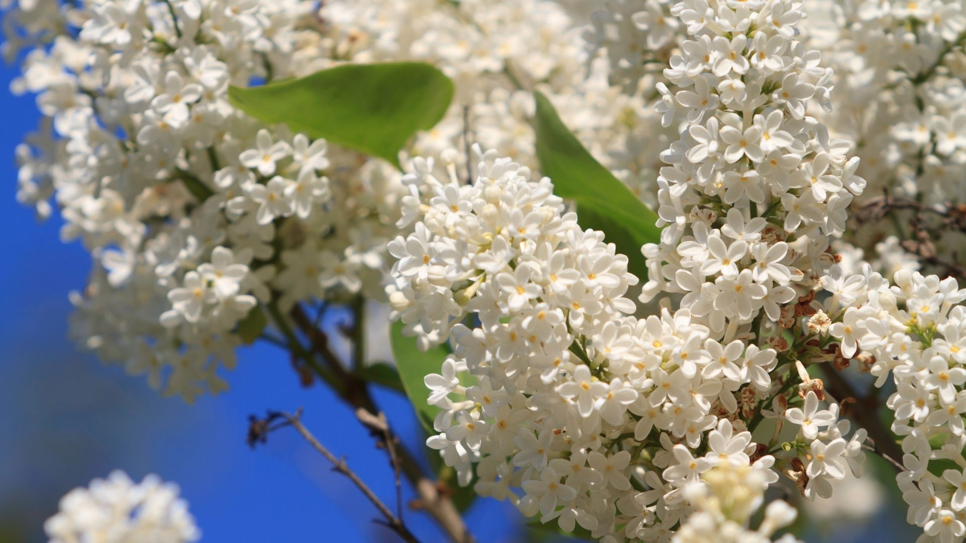 Common Lilac - Clusters of beautiful small white flowers with yellow centers.