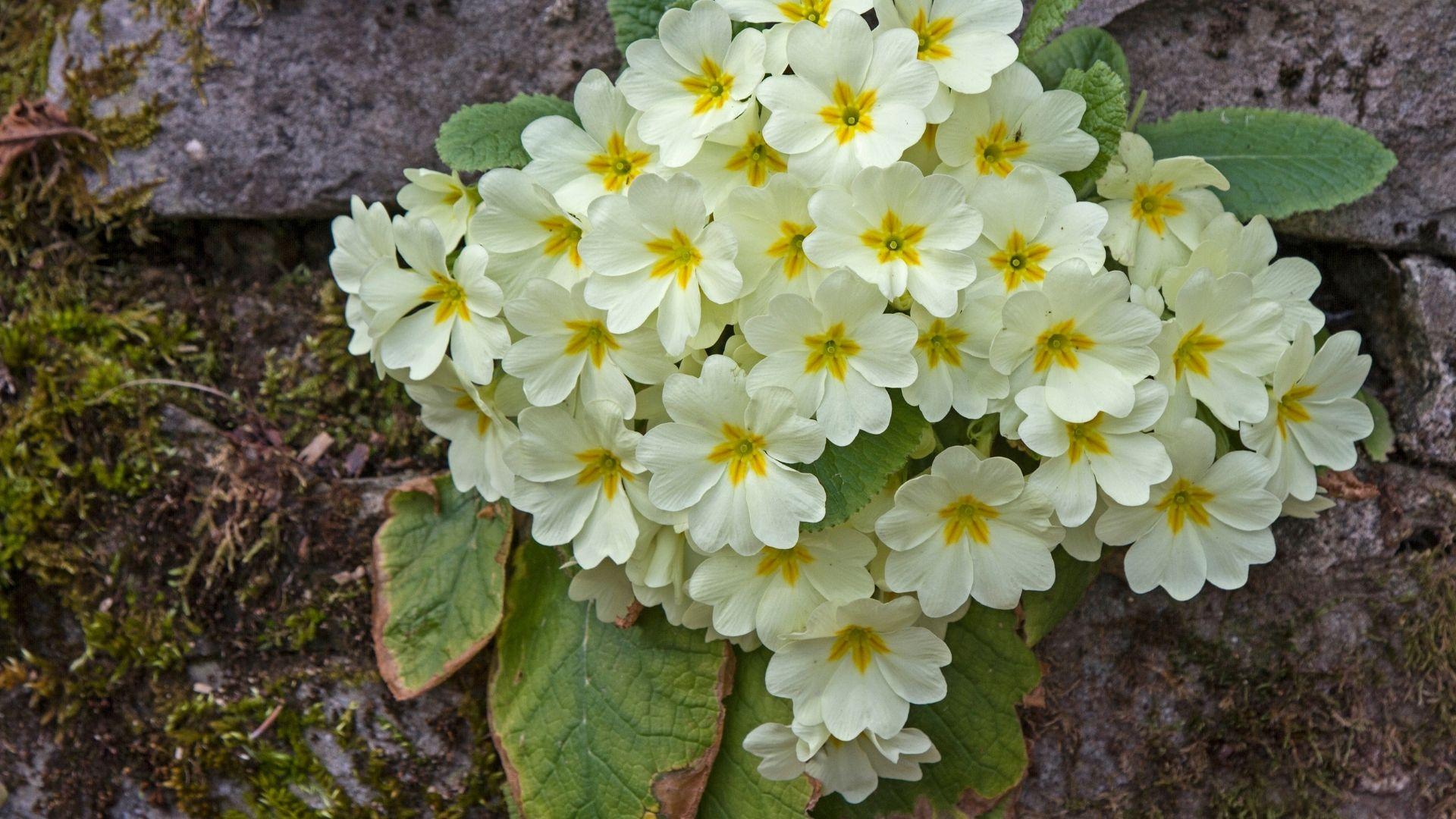 Common Primrose (Primula vulgaris)
