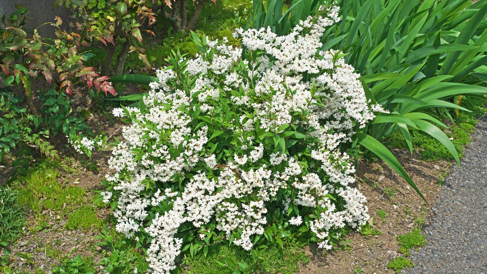 Dwarf Deutzia acting as a ground cover. Bunches of small white flowers growing through the green leaves.