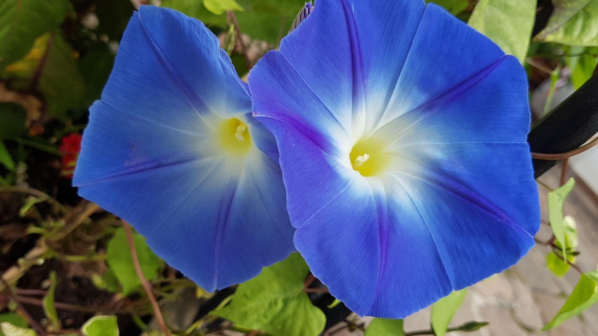 Ipomoea tricolor 'Heavenly Blue'