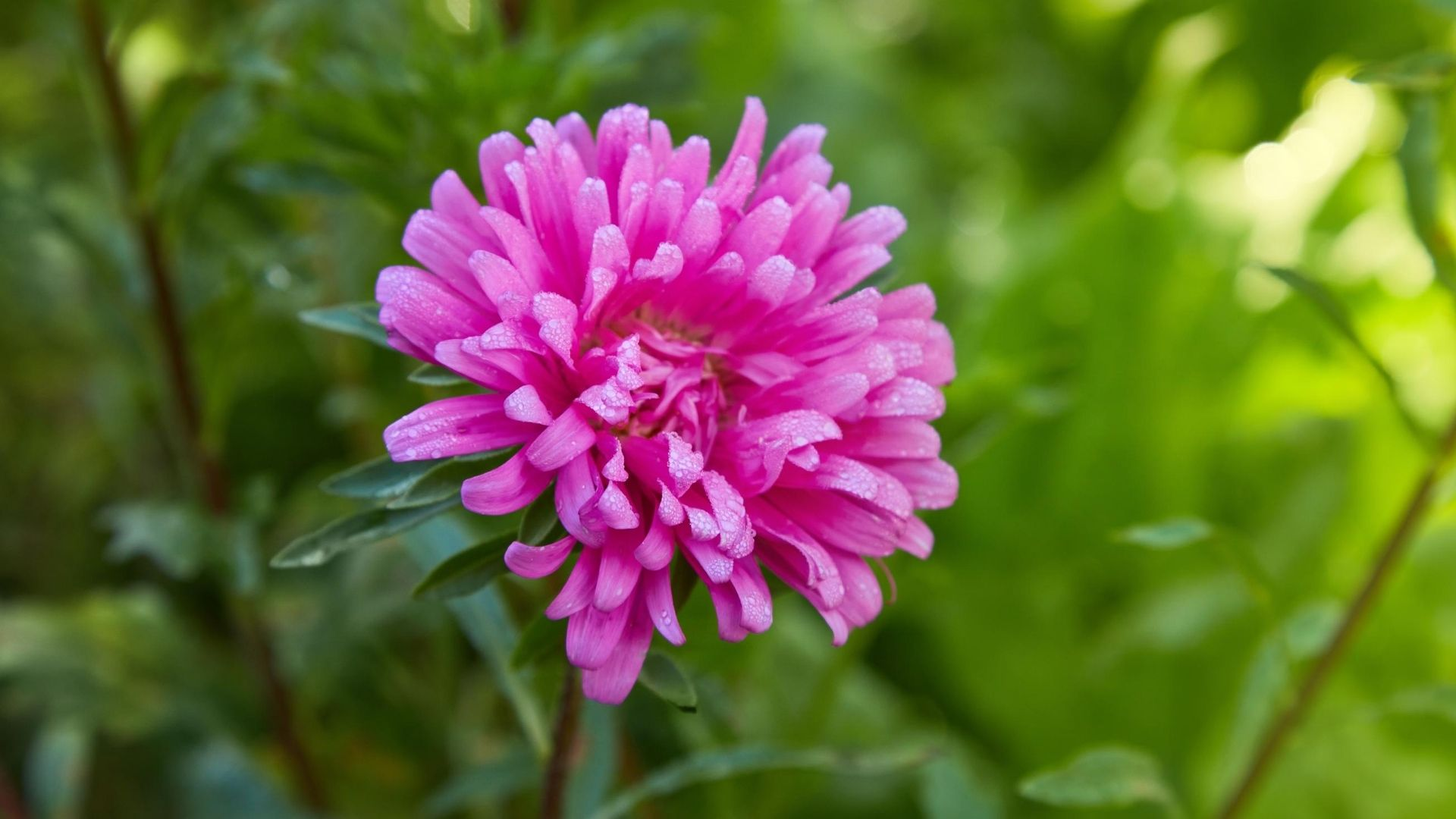 Pink Aster (Callistephus Chinensis)