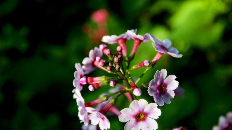Pink Japanese Primrose