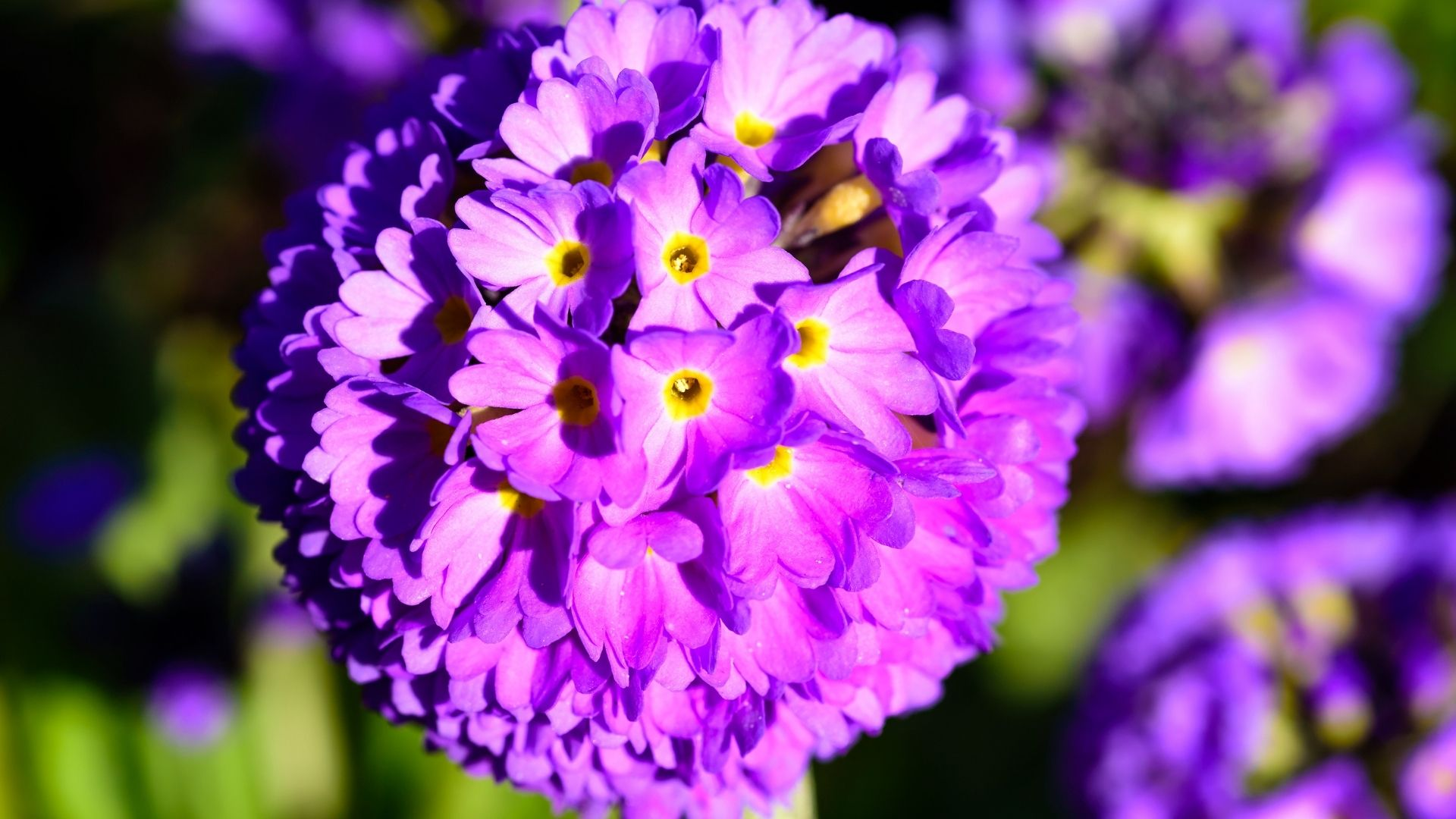 Drumstick Primrose (Primula denticulata)