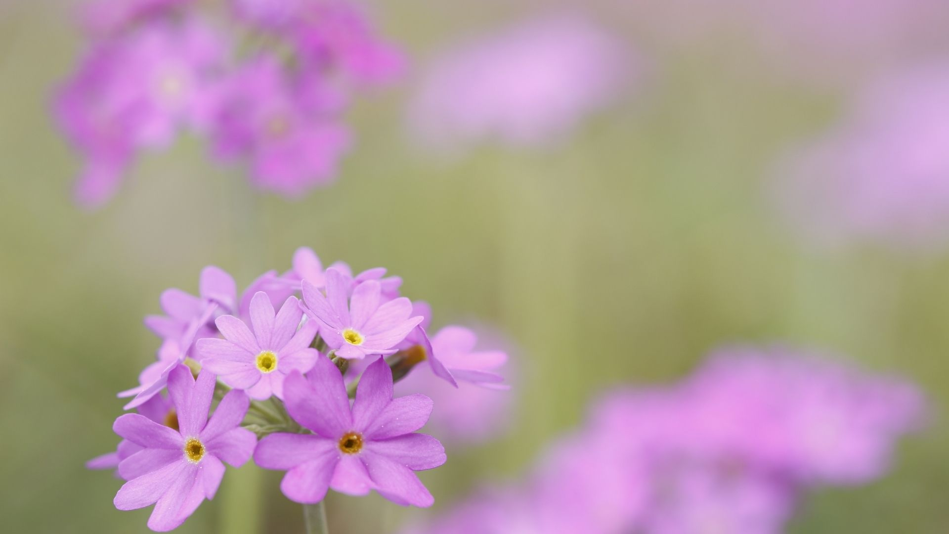 Primula Farinosa subsp. modesta