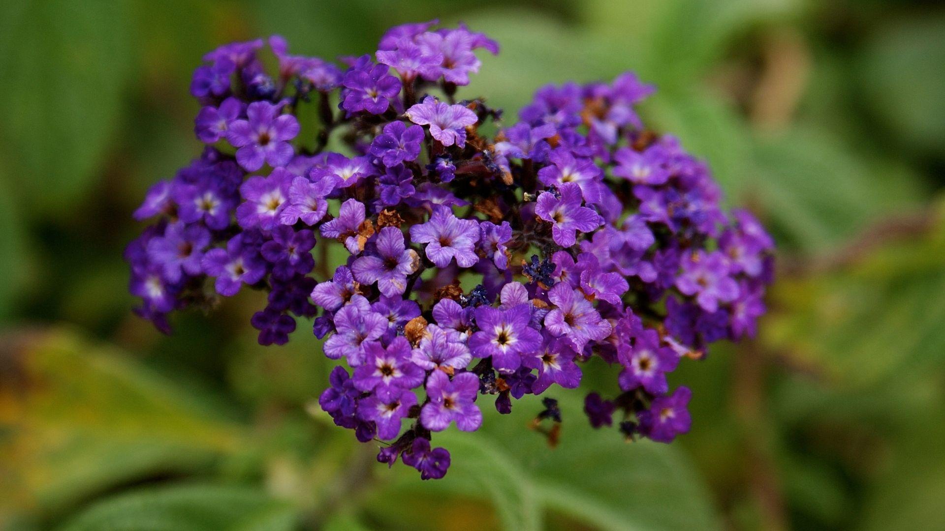 Purple Heliotropium Flowers
