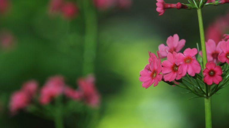 Red Japanese Primrose