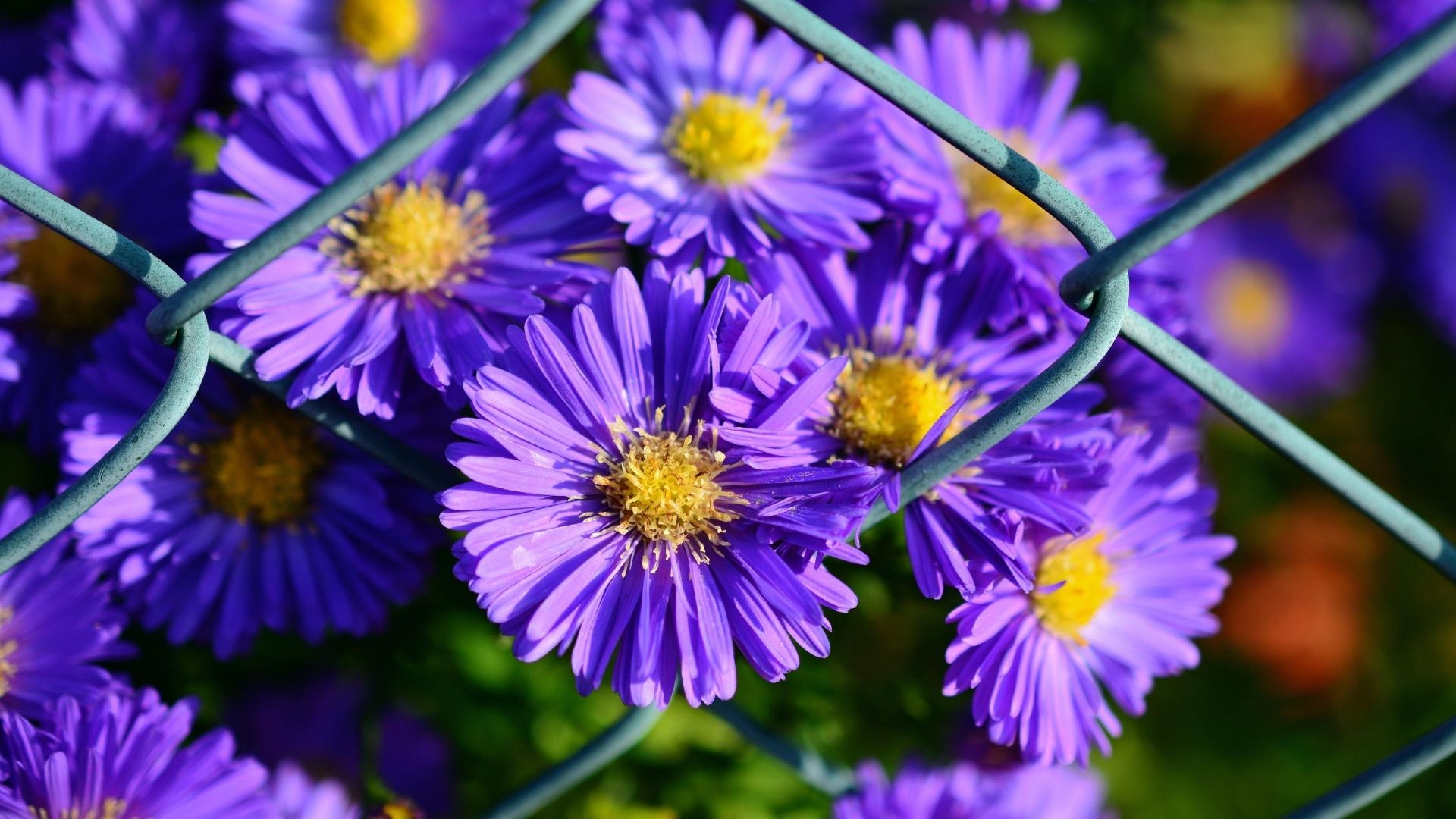 24 Gorgeous Types of Aster Flowers