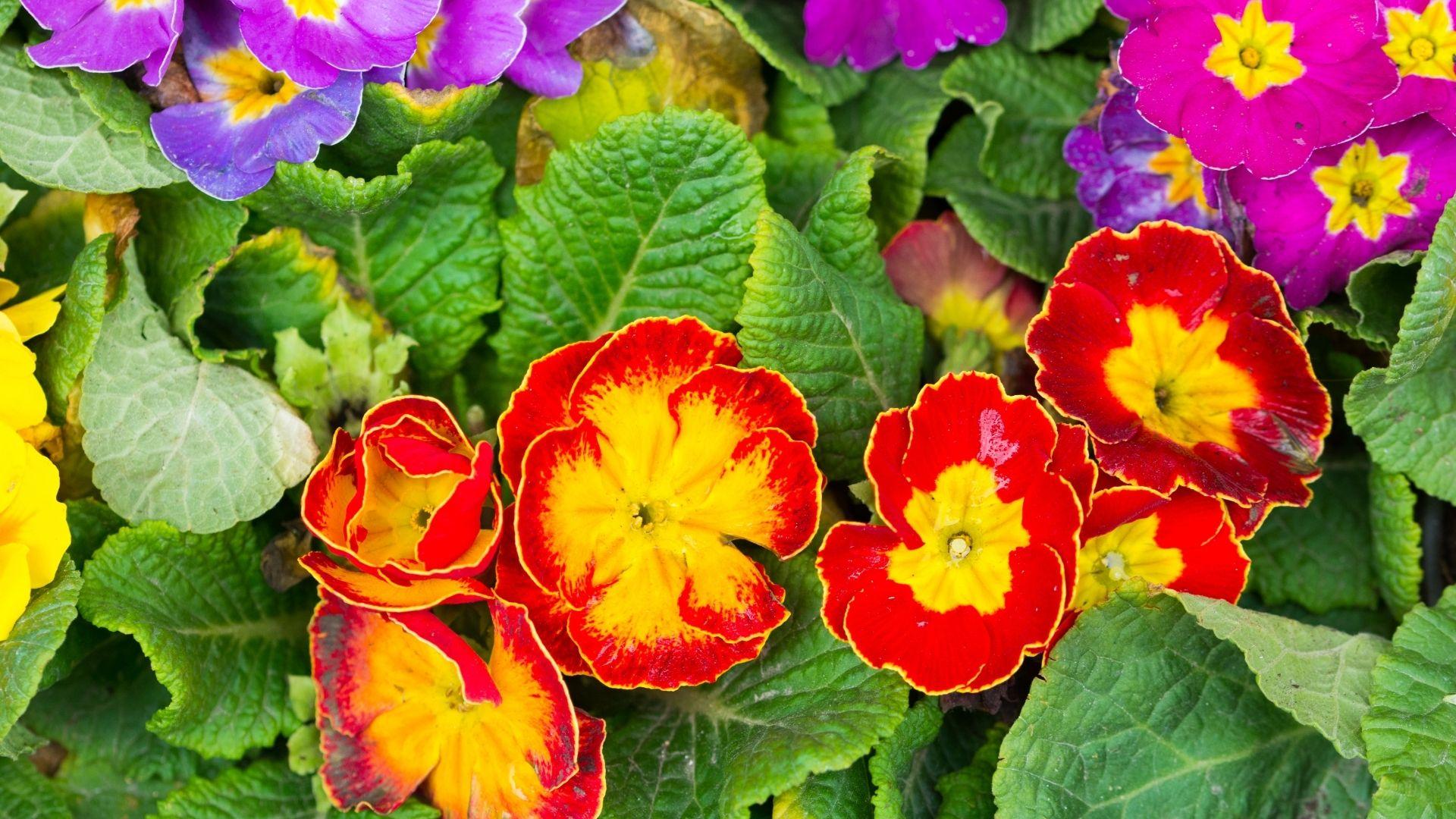 18 Types of Primrose Flowers