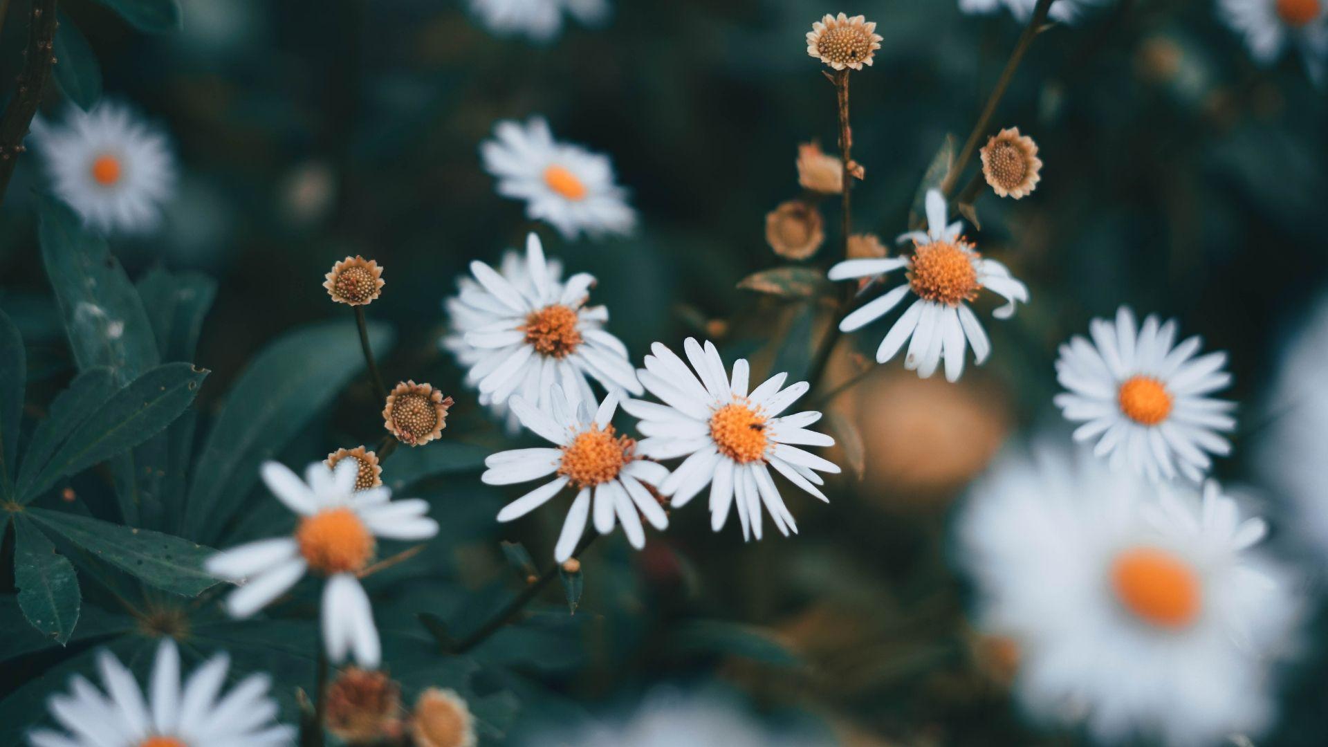 Little White Daisy Flowers