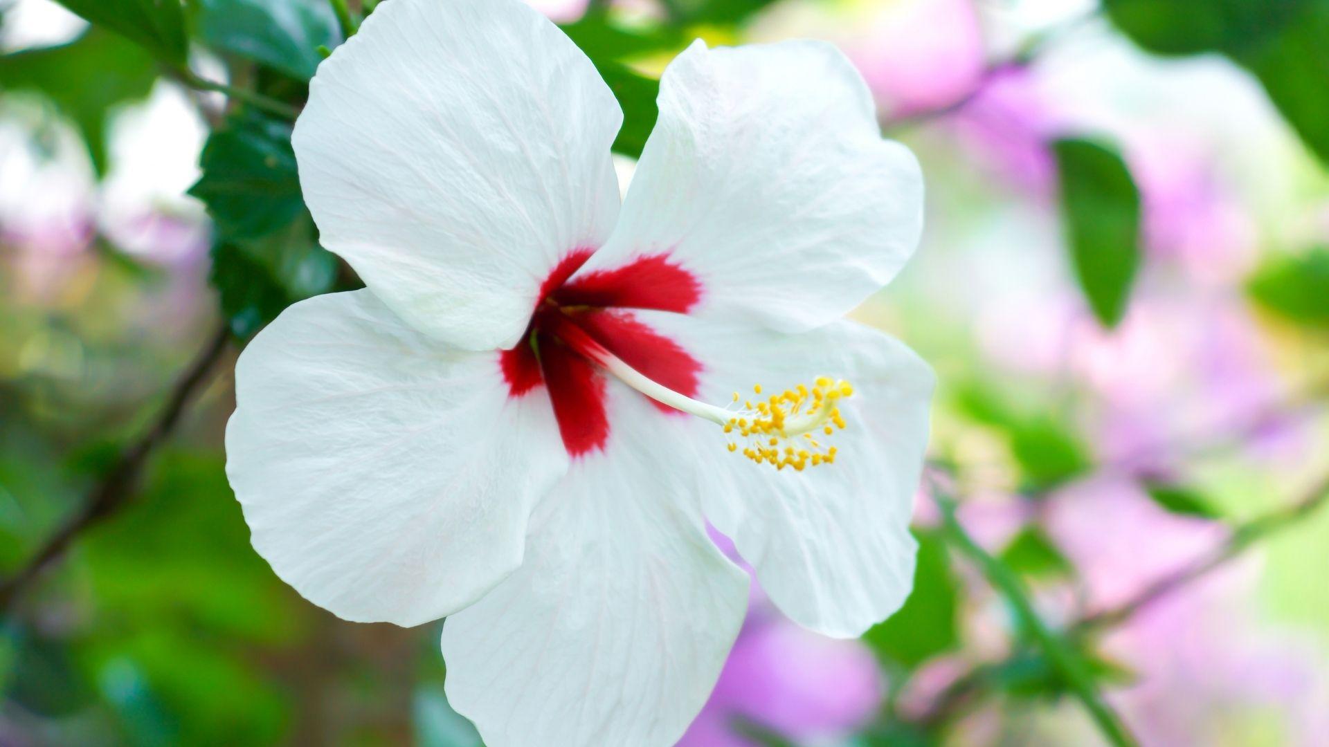White Hibiscus Flowers
