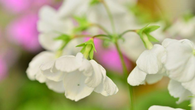 White Japanese Primrose