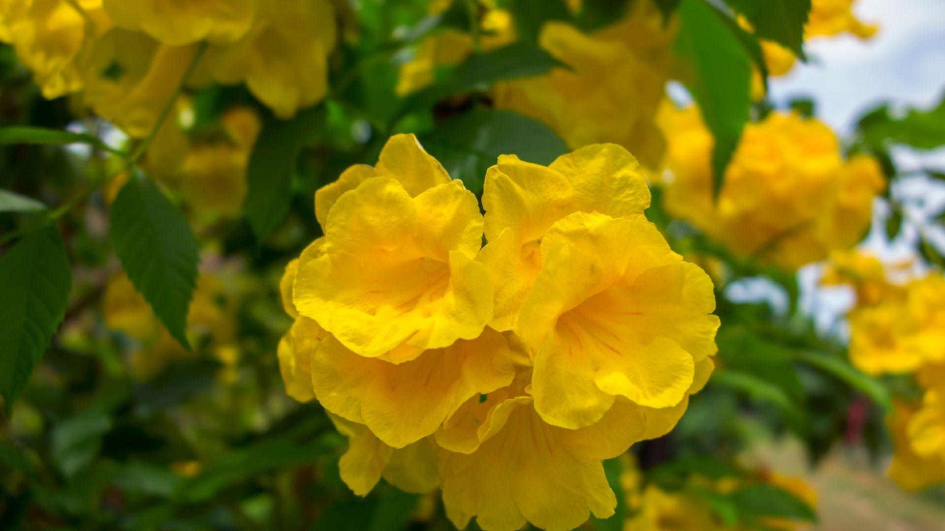 Yellow Elder (Tecoma stans)
