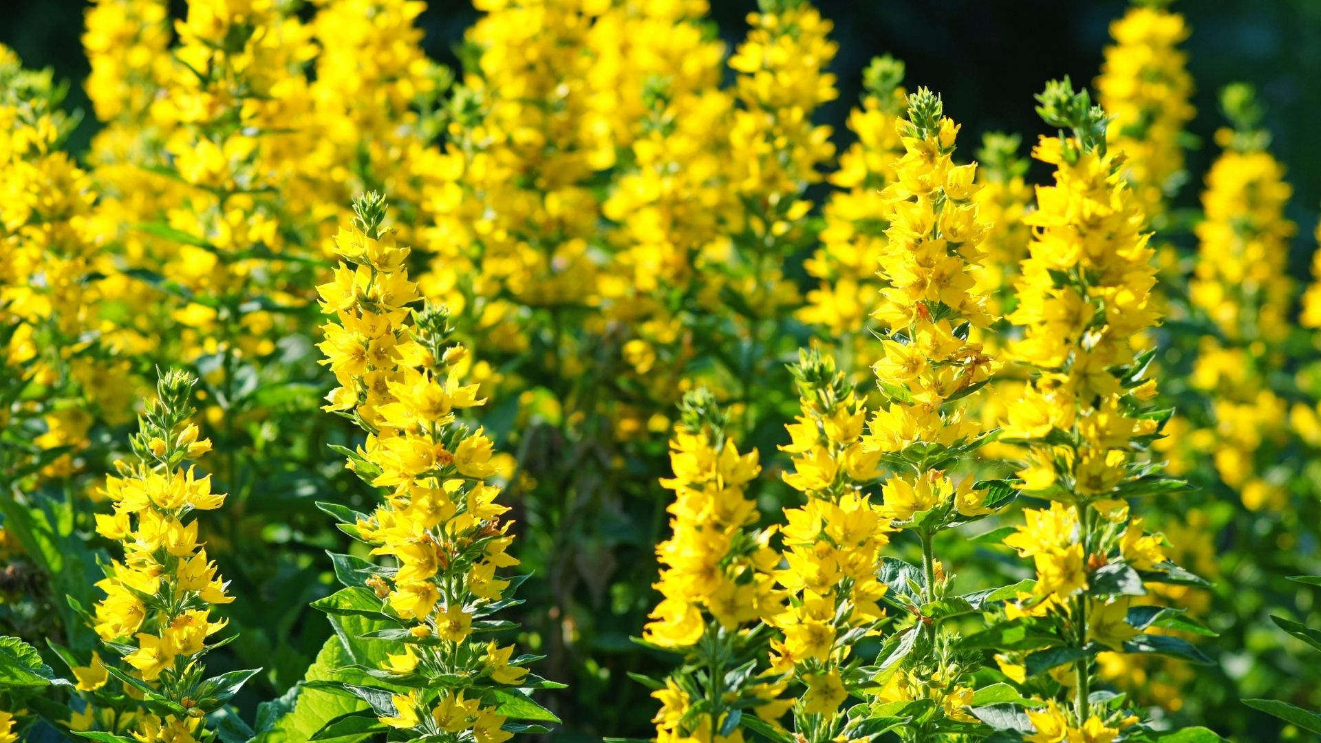 Yellow Loosestrife (Lysimachia Punctata)