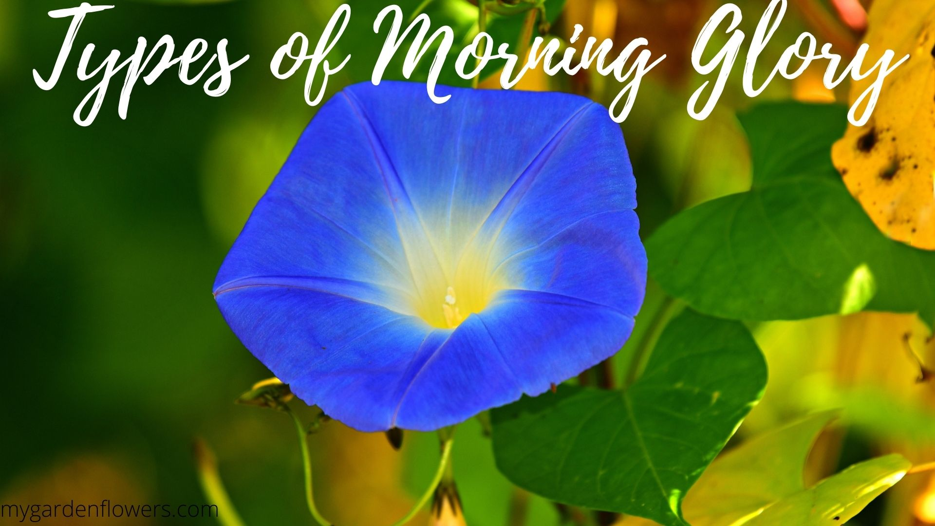 13 Types of Morning Glory