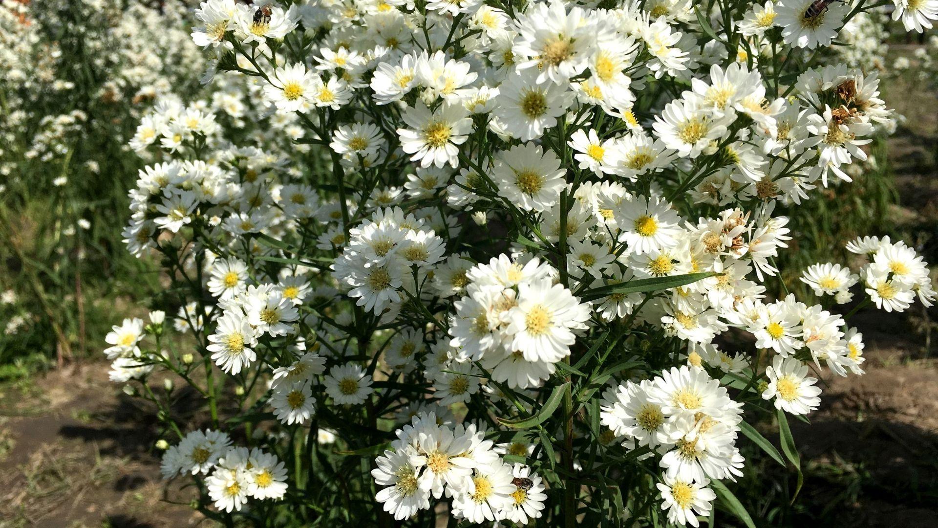 Aster ericoides - White Cutter Flower