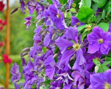 10 Beautiful Purple Vine Flowers
