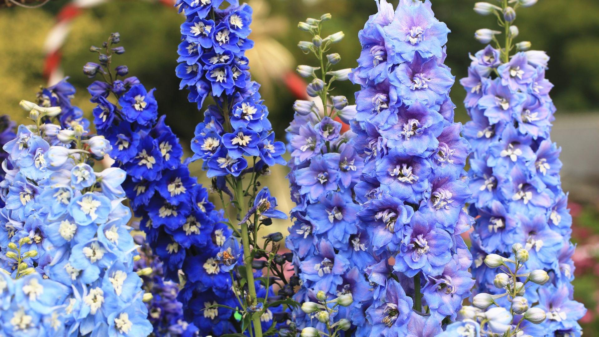 Delphinium - Blue Flowers