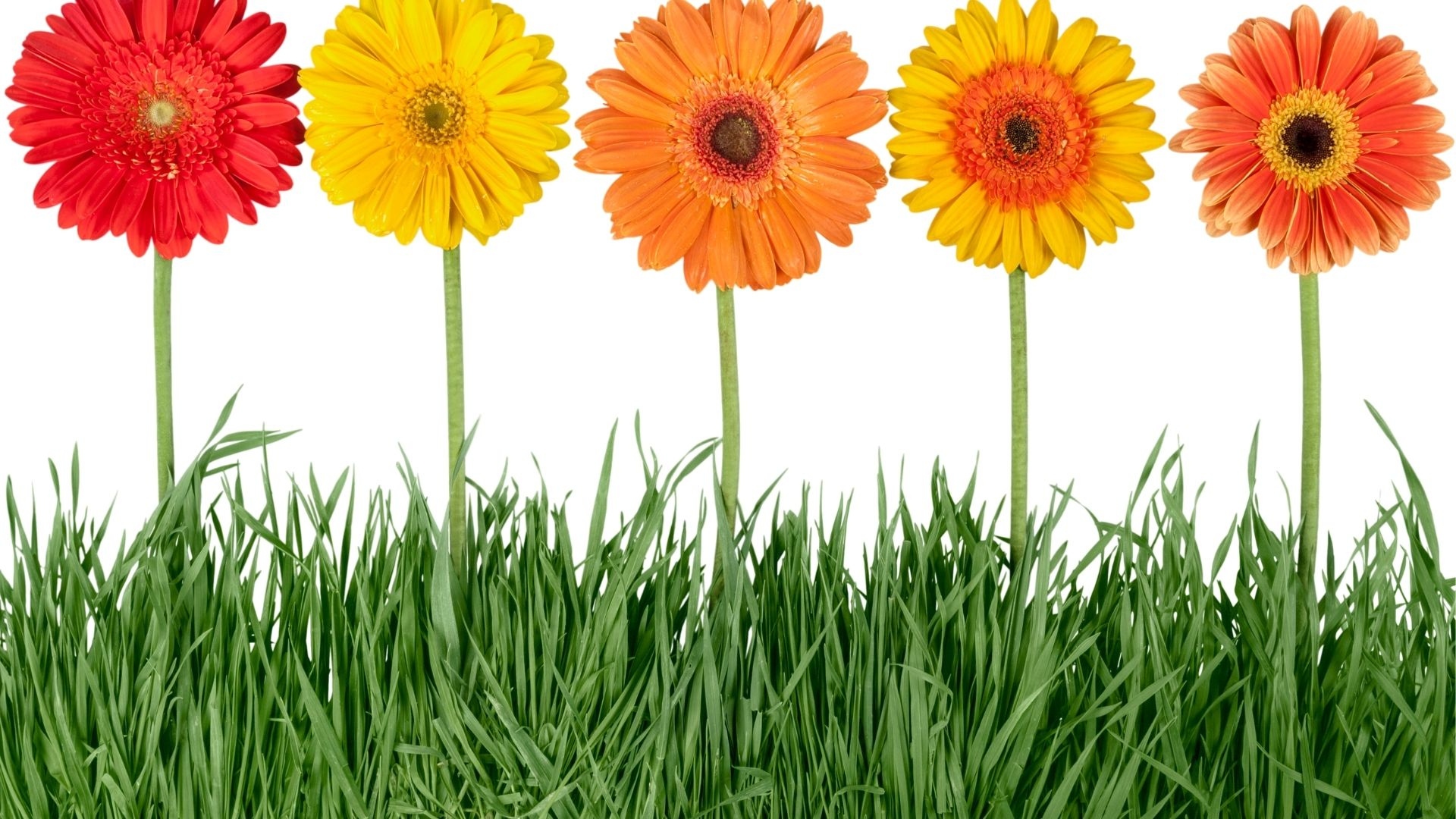 Gerbera Daisy with orange, yellow, red flowers or a mixture of varying colors.