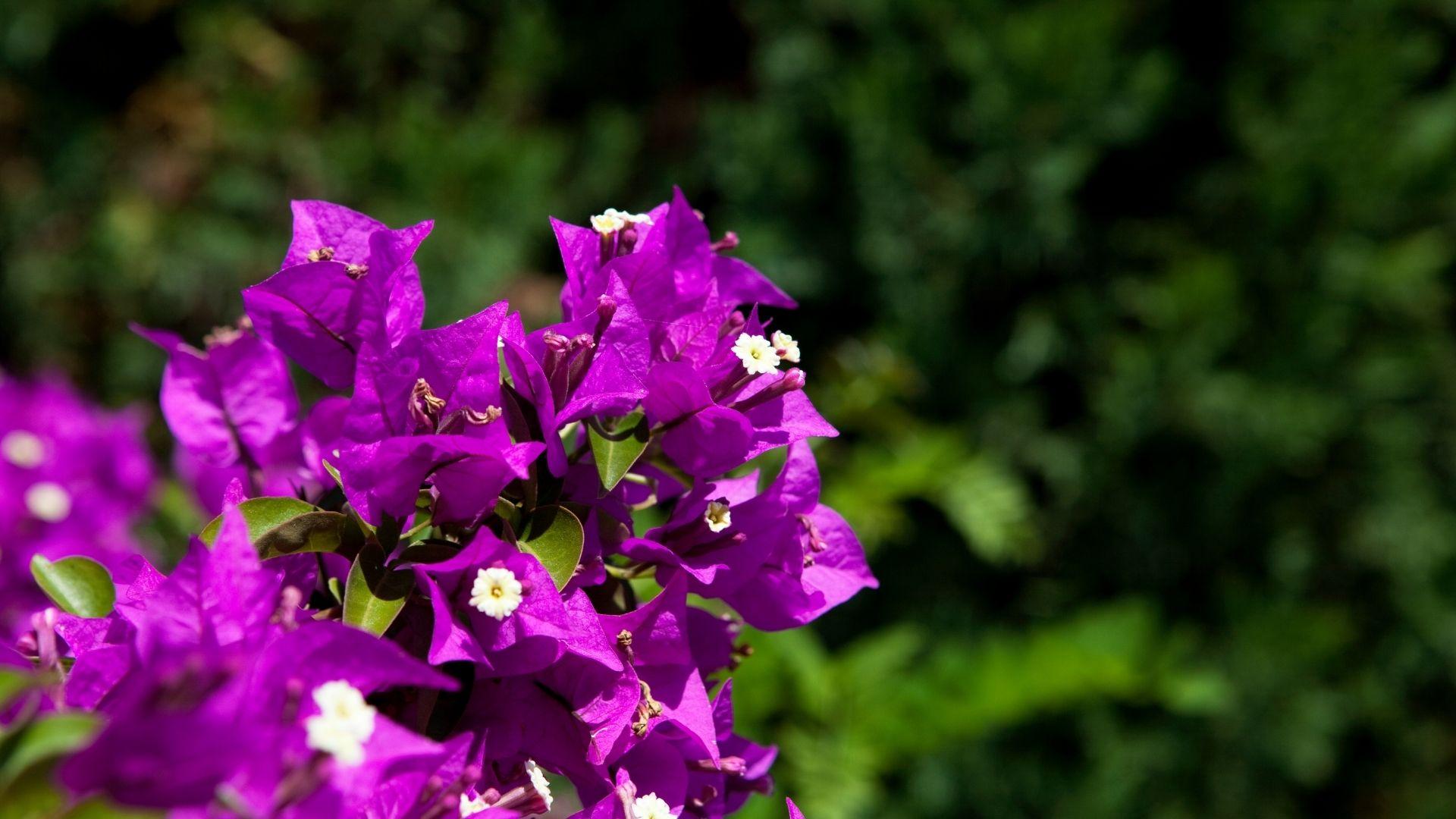 Bougainvillea Vine With Purple Flowers