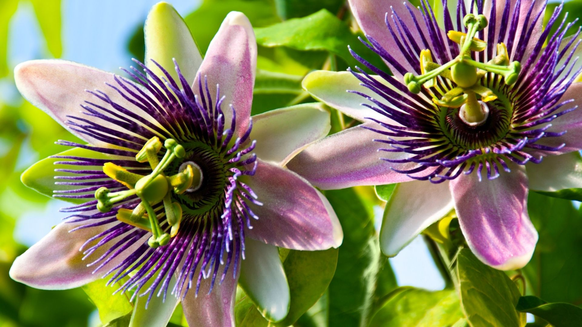 Purple Passion Flower Vine