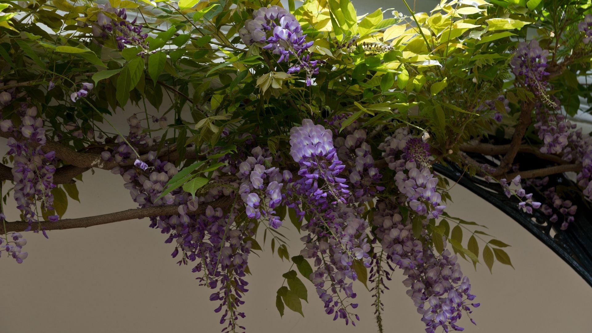Wisteria Vine With Purple Flowers.
