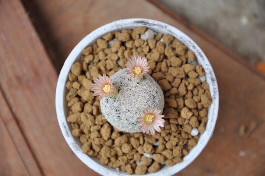 Lacespine Pincushion Cactus