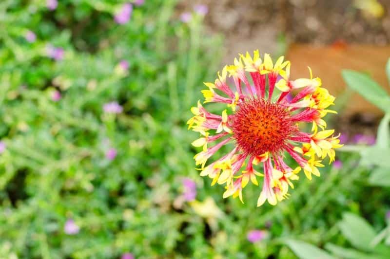 Lance leaf blanket flower